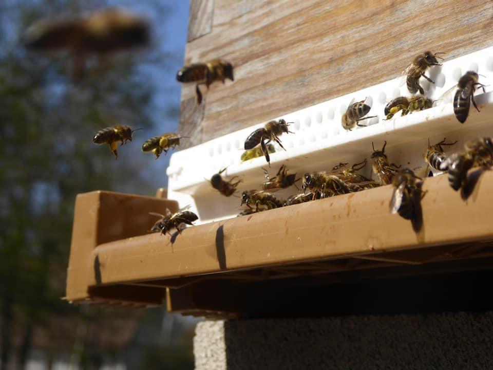 Abeilles au rucher